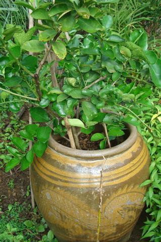 การปลูกมะนาวนอกฤดูในโอ่งมังกร