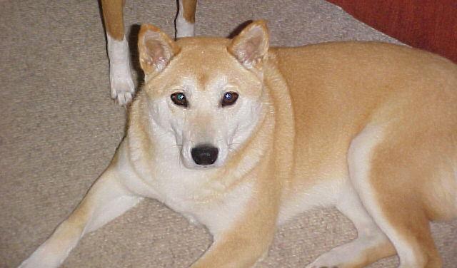 สุนัข ชิบะ อินุ