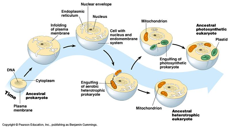 Endosymbiotic Theory And Eukaryotic Cell Evolution Biology Essay