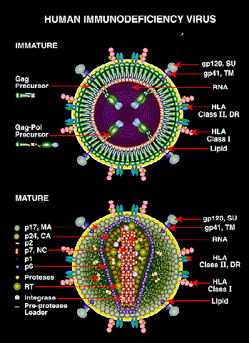 เชื้อ HIV